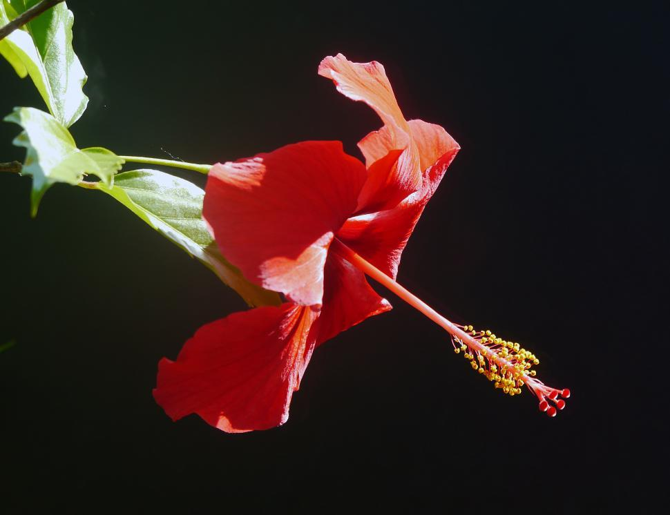 Download Free Stock Photo of Red Hibiscus Flower - Dark Background