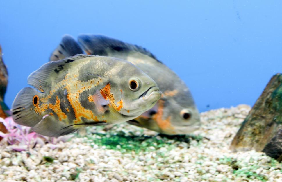 Download Free Stock Photo of Tiger Oscar Fish