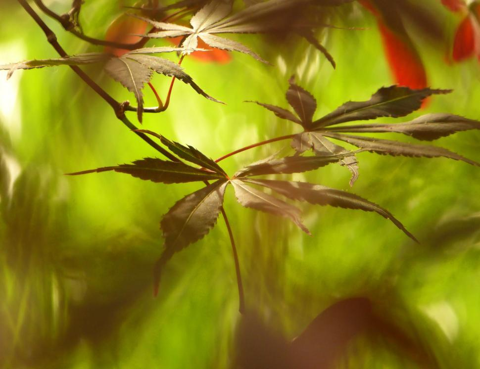 Download Free Stock HD Photo of Leaves of Japanese Red Maple Online