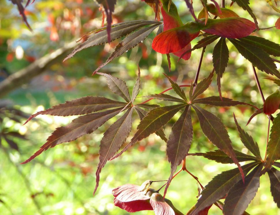 Download Free Stock Photo of Japanese Red Maple Leaves and Seed Pods