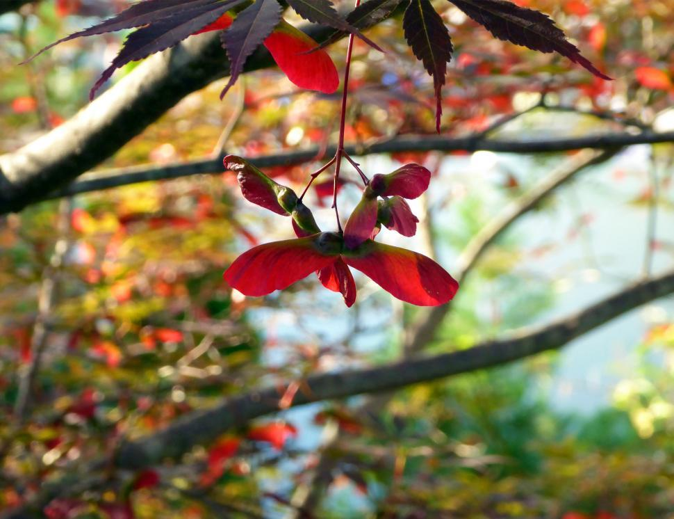 Download Free Stock Photo of Japanese Red Maple Seed Pods