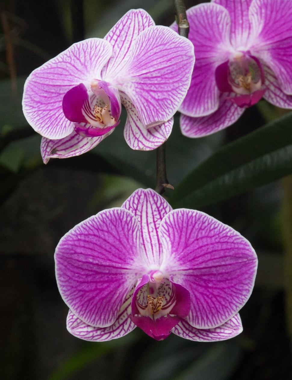 Download Free Stock HD Photo of Moth Orchid Closeup Online