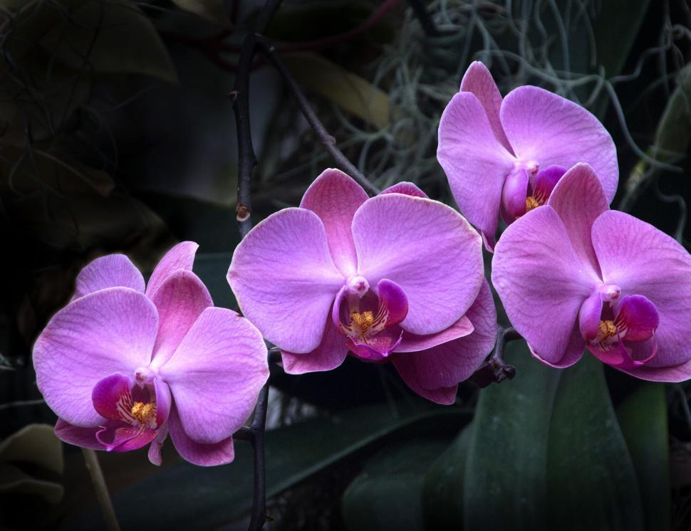 Download Free Stock Photo of Moth Orchid Pink Flower in Bloom