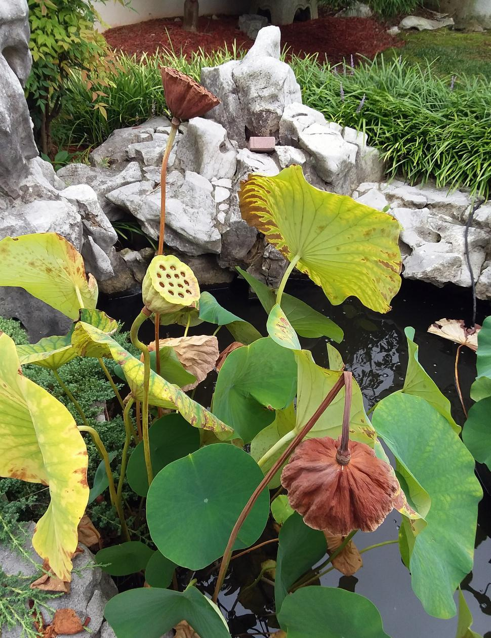 Download Free Stock Photo of Lotus Plant In Pond