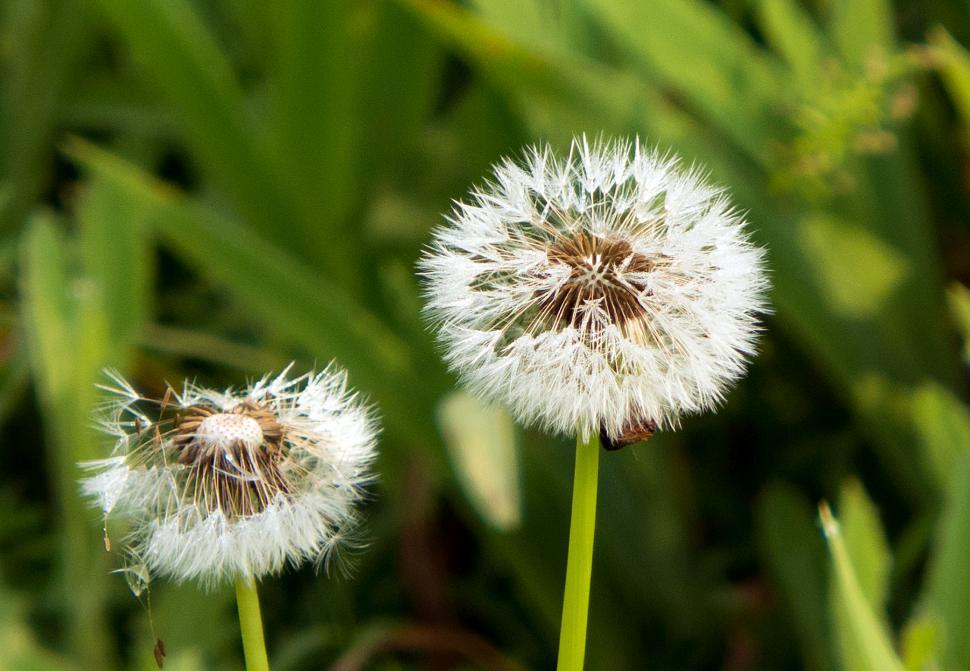 Download Free Stock Photo of Dandelion Blowballs Seed Balls
