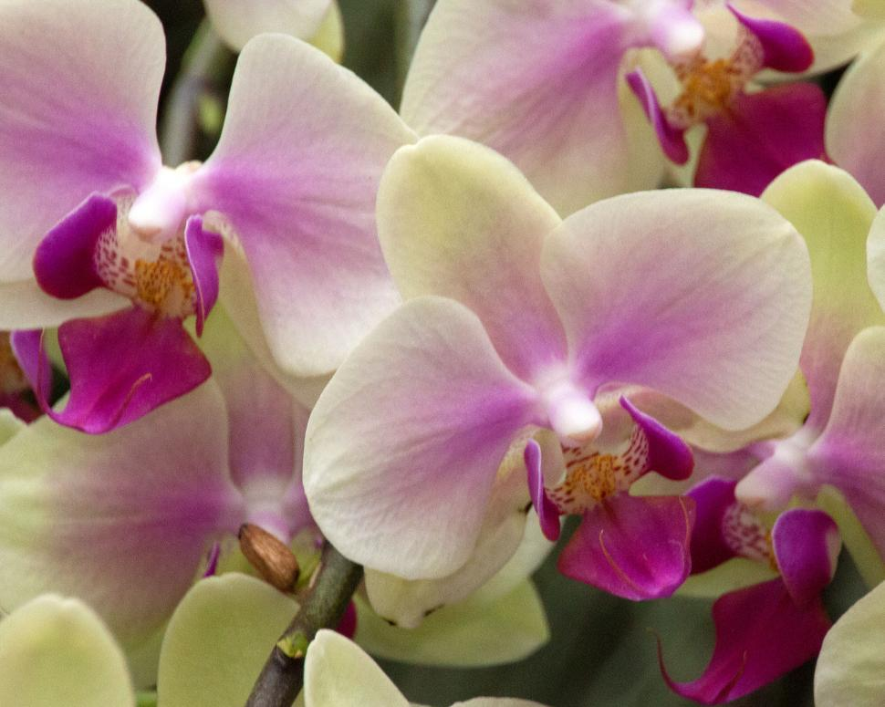 Download Free Stock HD Photo of Moth Orchid Yellow and Red Flowers in Bloom Online