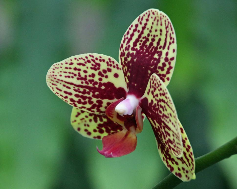 Download Free Stock HD Photo of Bloom of Maroon Dot Moth Orchid  Online