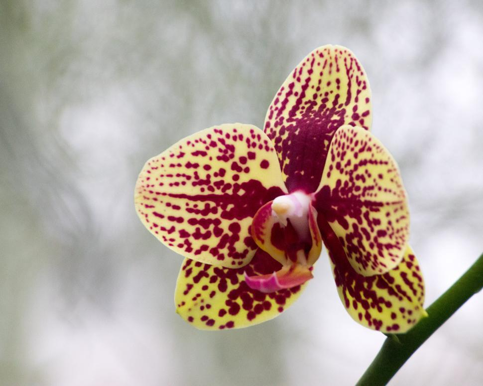 Download Free Stock HD Photo of Moth Orchid Maroon Bloom Online