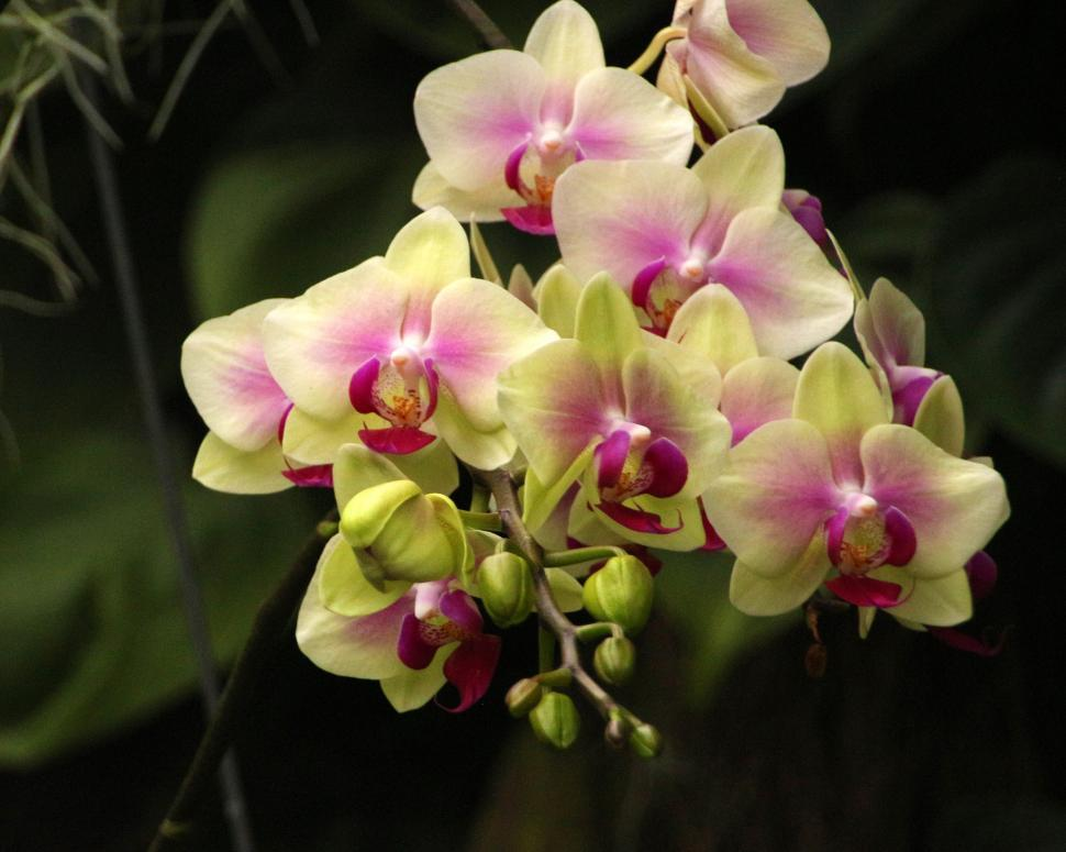 Download Free Stock HD Photo of Flowers of Yellow and Red Moth Orchid Online