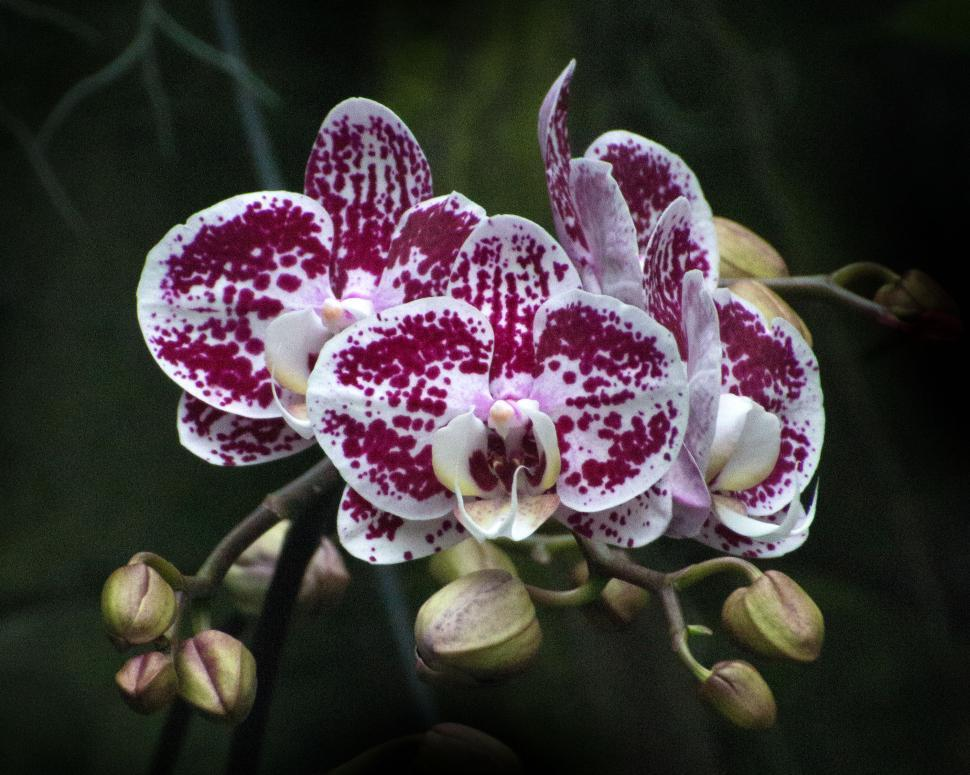 Download Free Stock HD Photo of Red Patterned Moth Orchid Flowers and Buds Online