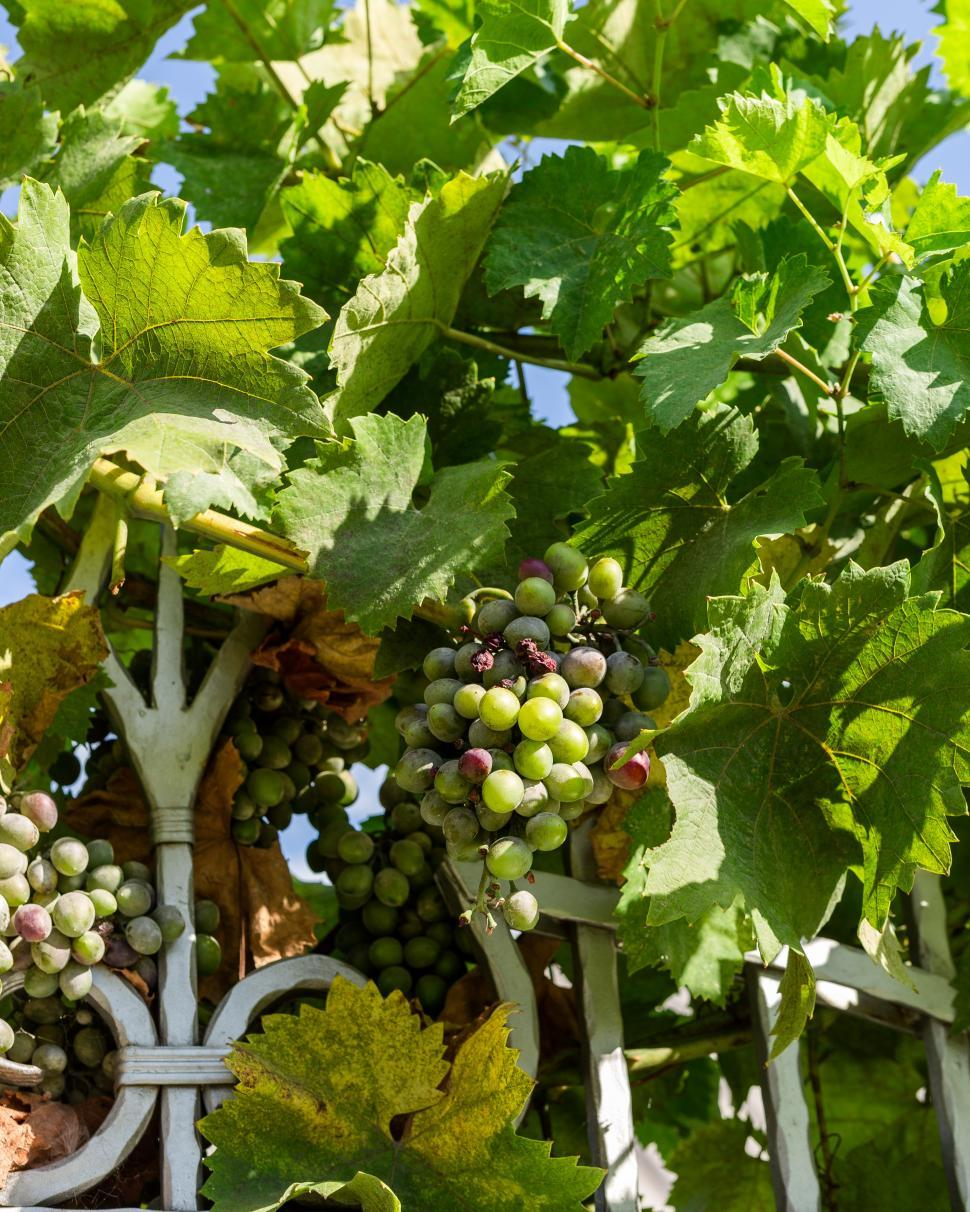 Download Free Stock HD Photo of Close up of green grapes on grapevines Online