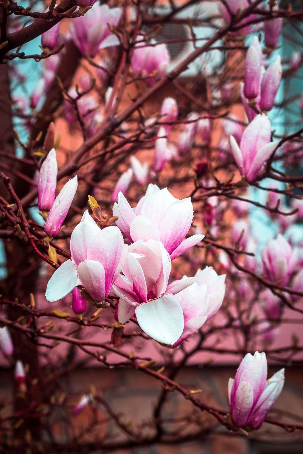 Download Free Stock HD Photo of Close up of magnolia tree full of flowers Online