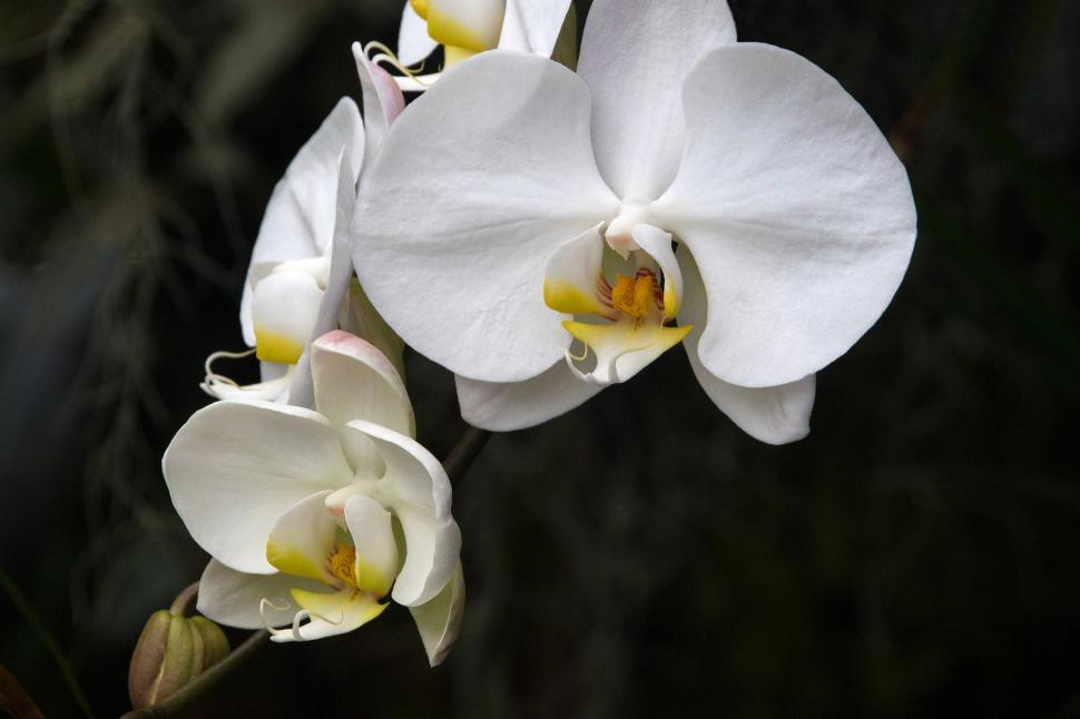 Download Free Stock HD Photo of White Yellow Flowers Moth Orchid Online