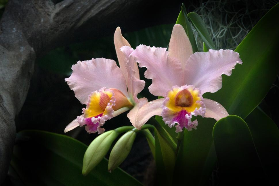 Download Free Stock Photo of Pink Orchid Cattleya Hybrid Flowers