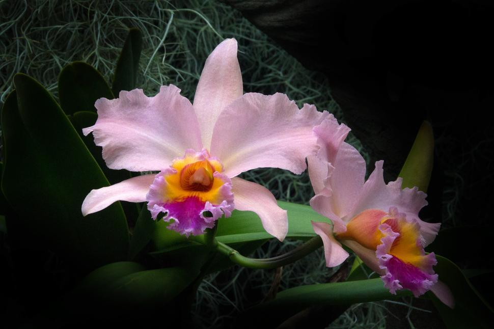 Download Free Stock Photo of Pink Orchid Cattleya Hybrid Blooms
