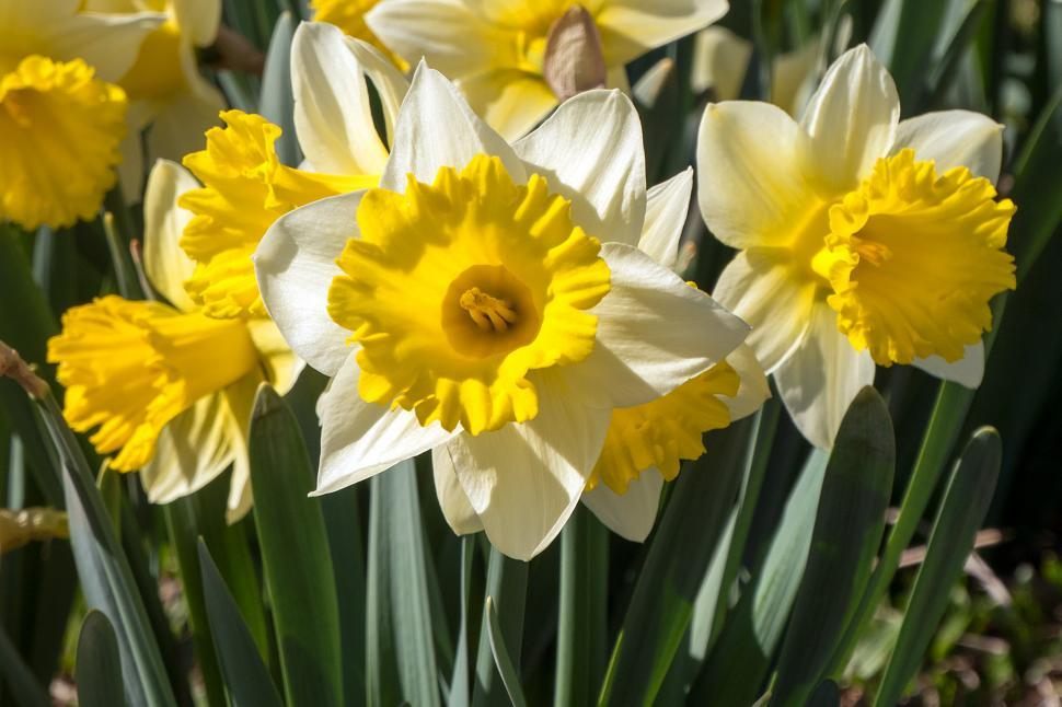 Download Free Stock Photo of Daffodil Flowers Closeup