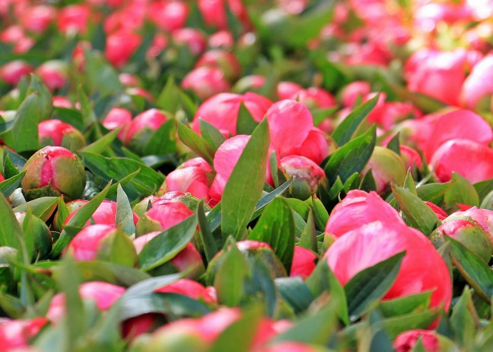 Download Free Stock Photo of Field of flower buds