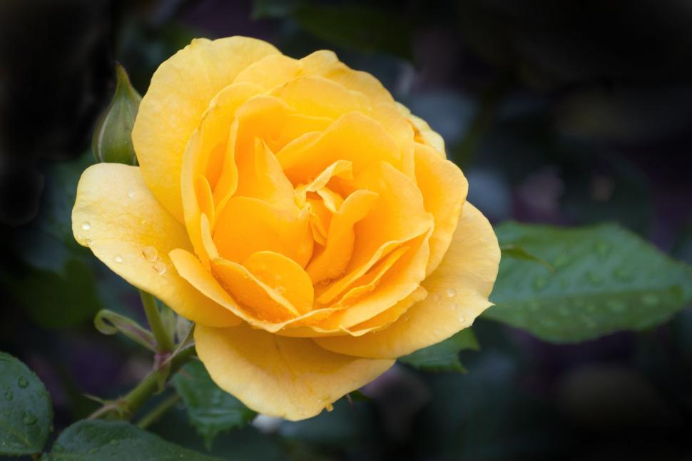 Download Free Stock Photo of Yellow Tea Rose Bloom