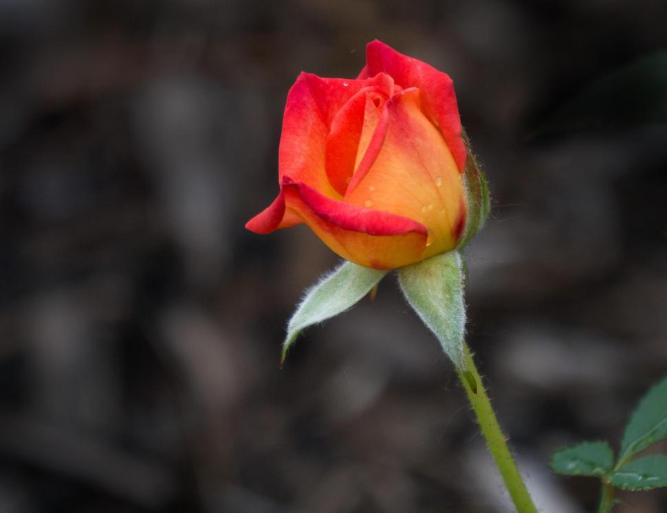Download Free Stock Photo of Orange Rose