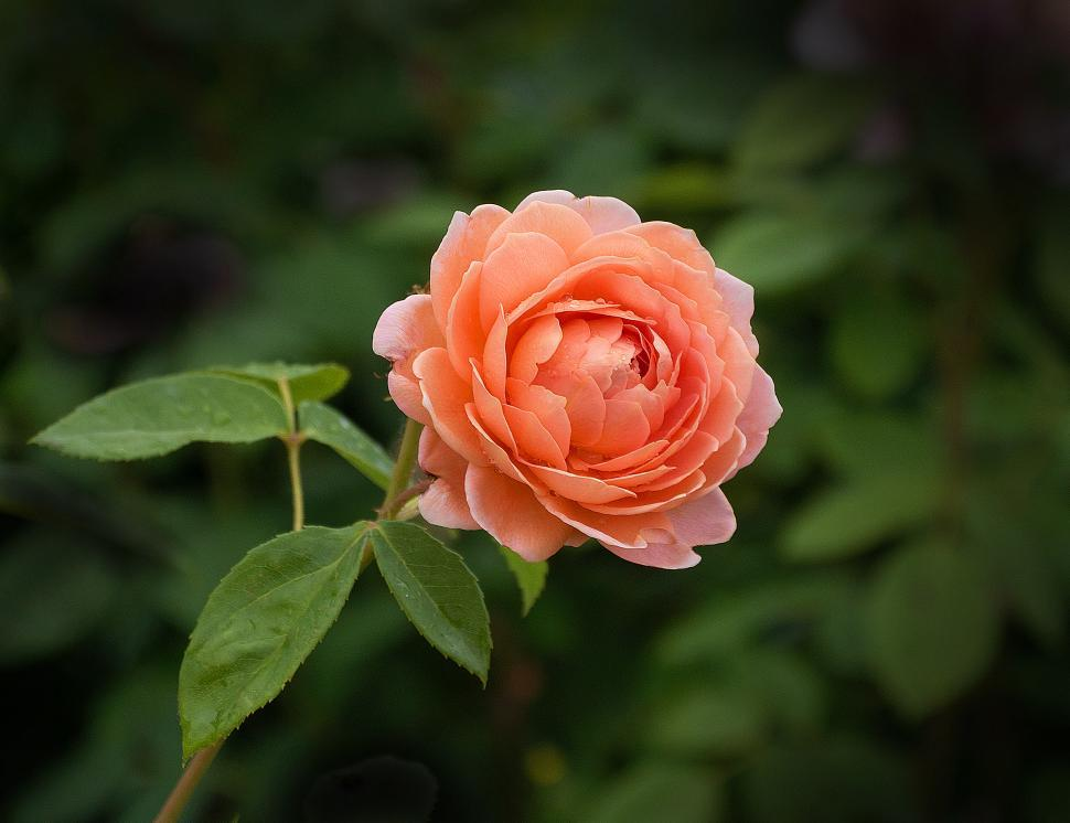 Download Free Stock HD Photo of One Orange Rose Online