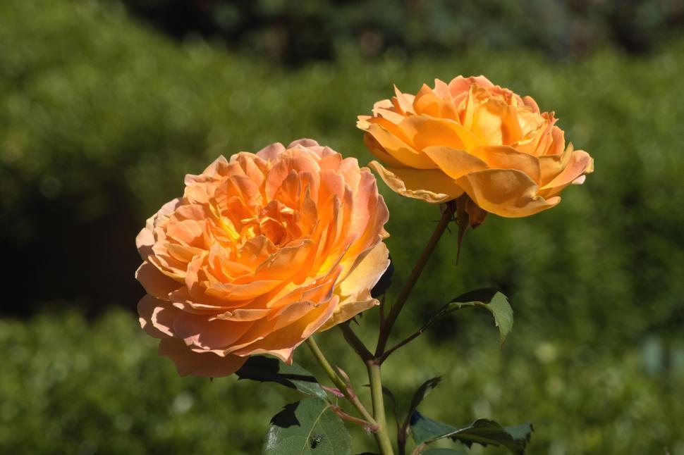 Download Free Stock HD Photo of Orange Tea Rose Online