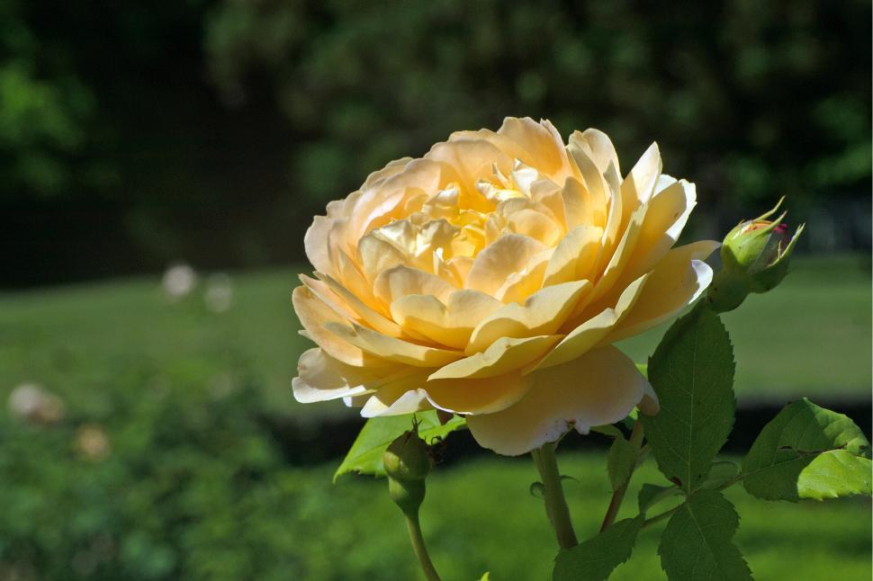 Download Free Stock HD Photo of Yellow Rose Closeup Online