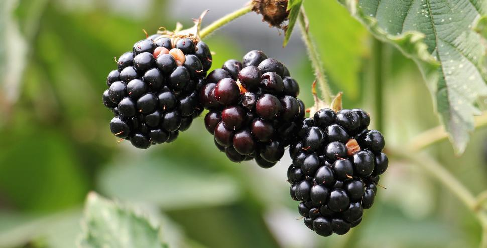 Download Free Stock Photo of Blackberries on the bush