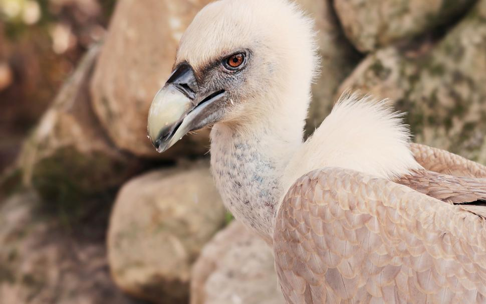 Download Free Stock HD Photo of Young vulture chick Online