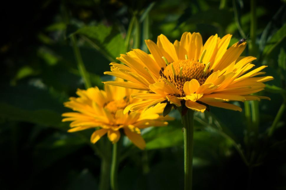 Download Free Stock HD Photo of False Sunflower Yellow Flower Online