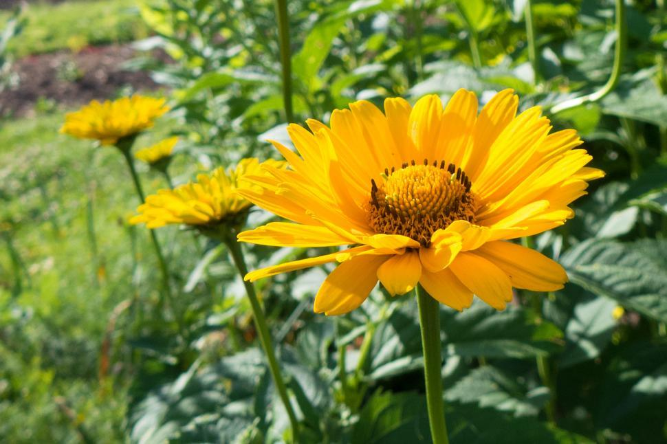 Download Free Stock HD Photo of One False Sunflower Online