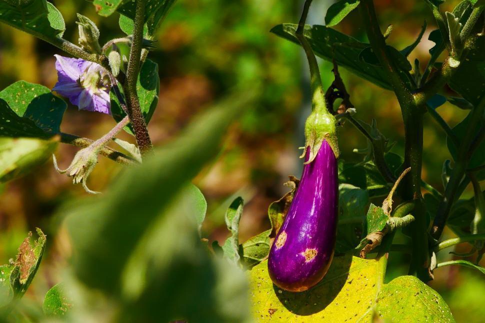 Download Free Stock HD Photo of Purple Eggplants Online