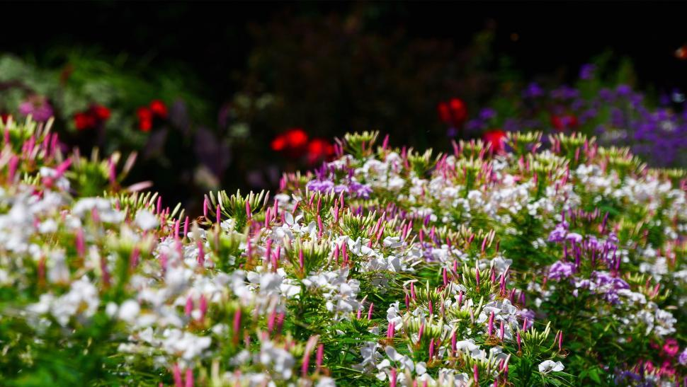 Download Free Stock Photo of Spider Flowers In A Garden