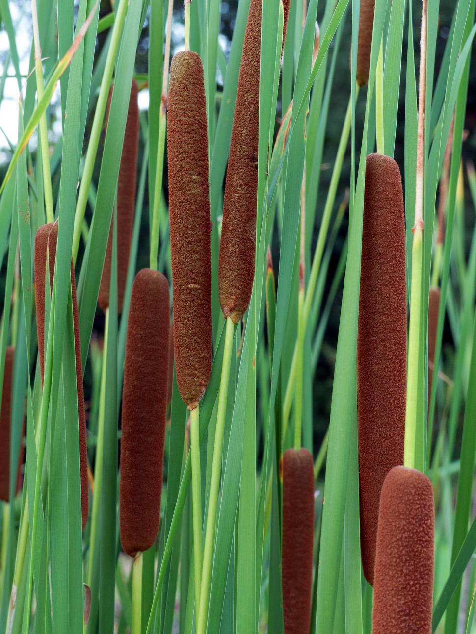Download Free Stock Photo of Cattail Grass