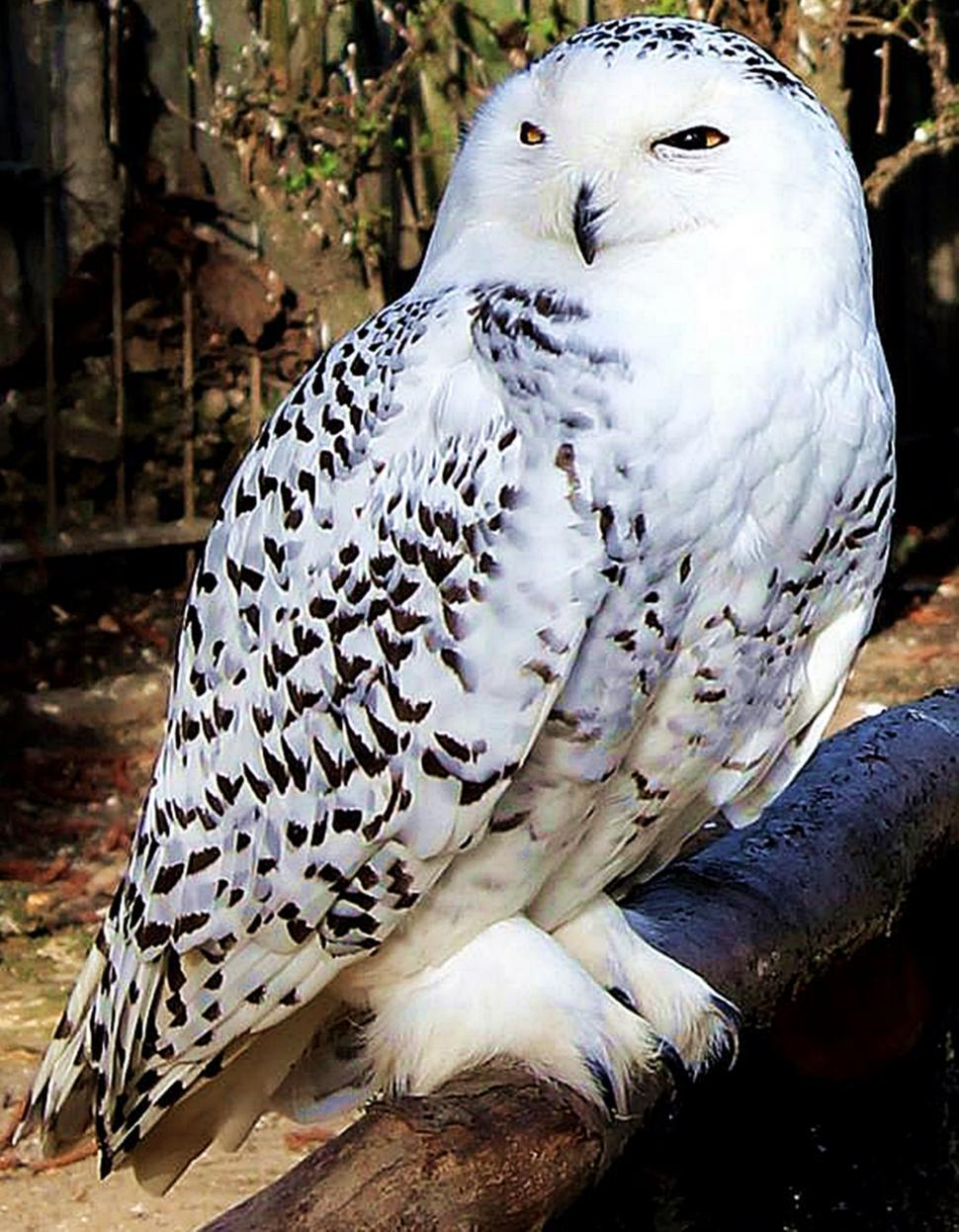 Download Free Stock Photo of Snowy Owl