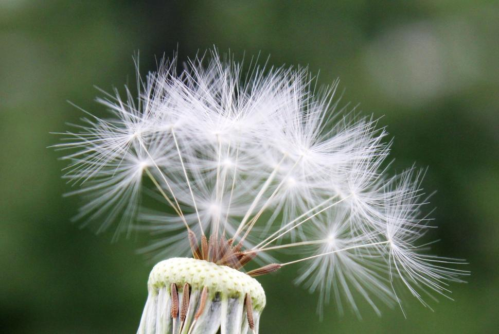 Download Free Stock Photo of Dandelion head with seeds