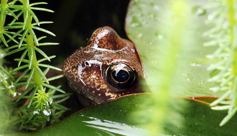 Download Free Stock HD Photo of Frog peeking out from lily pad Online