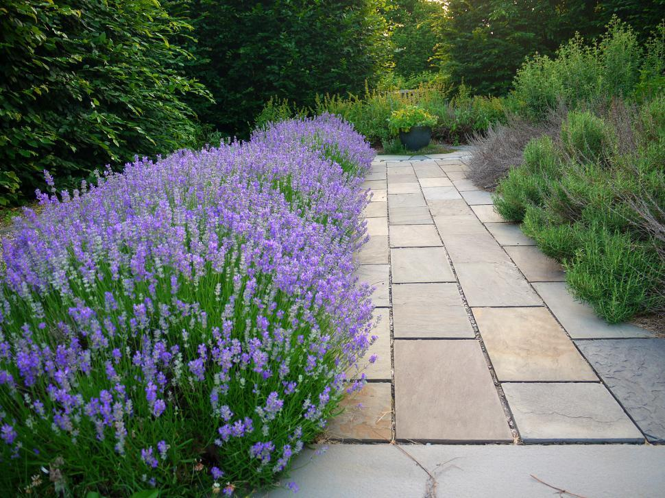 Download Free Stock Photo of Lavender Lined Path