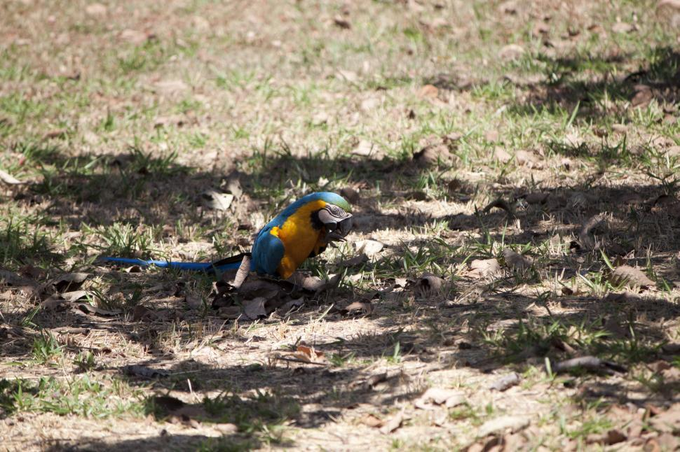 Download Free Stock Photo of Blue Macaw Bird on the Ground