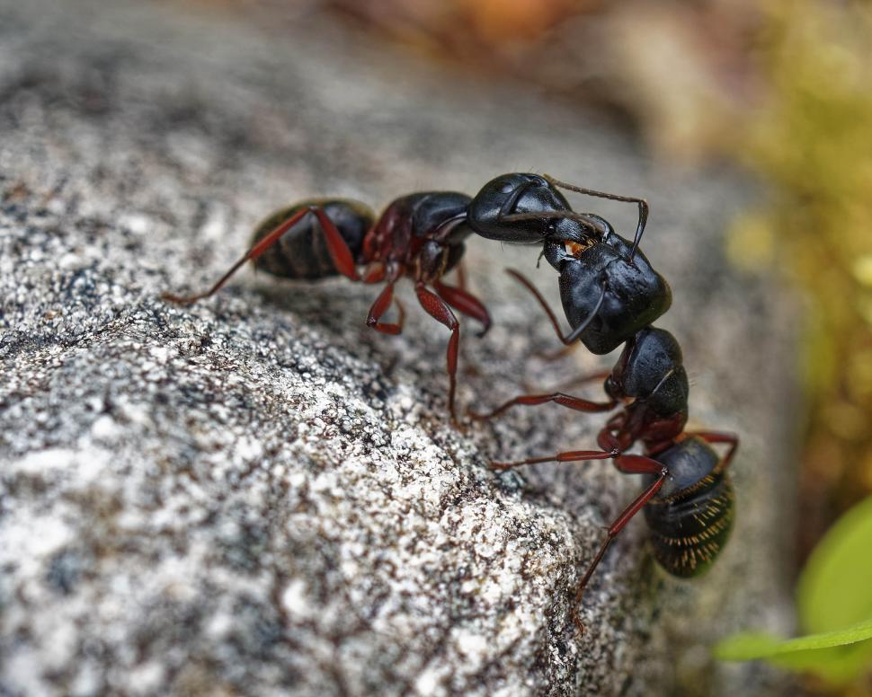 Download Free Stock Photo of Ants fighting