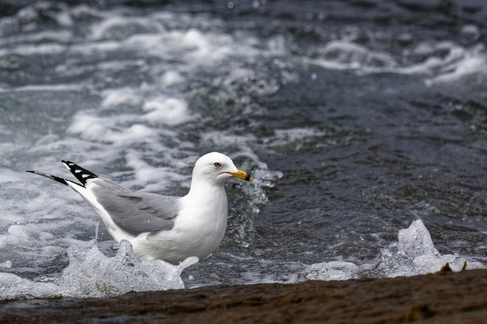 Download Free Stock Photo of Gull