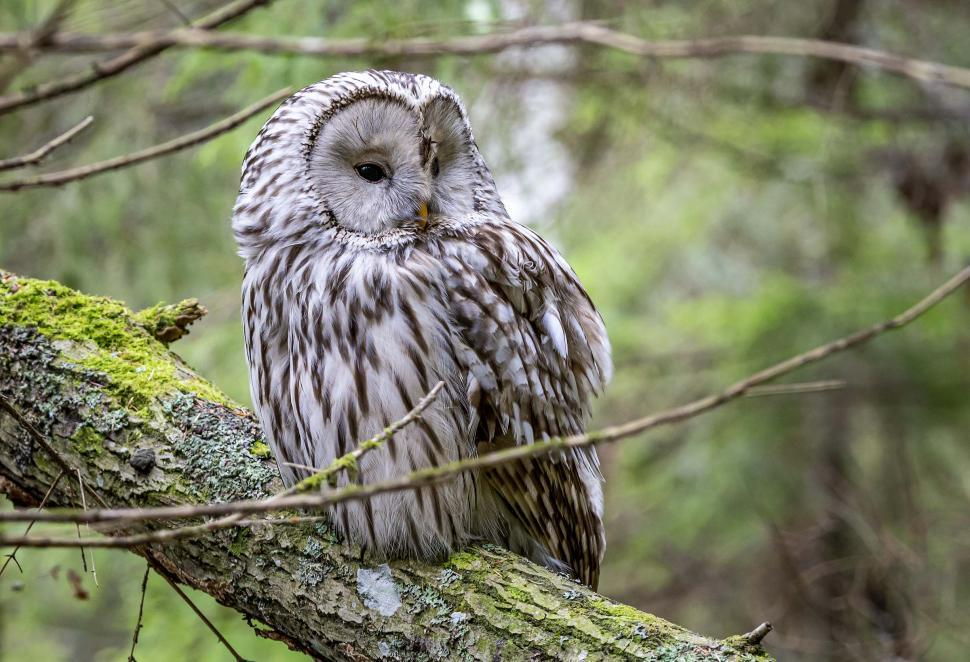 Download Free Stock Photo of Ural owl