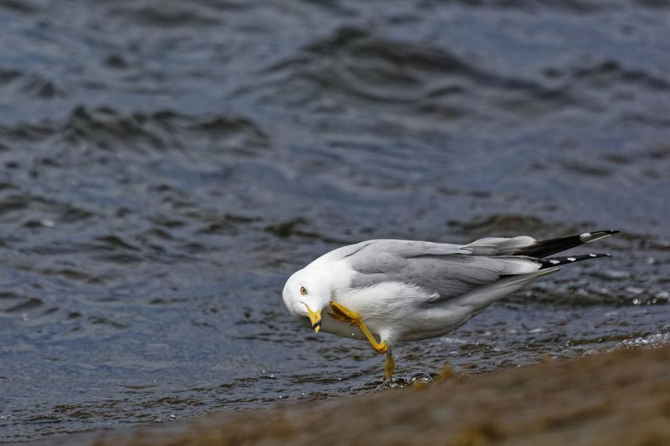 Download Free Stock Photo of Ring-billed Gull