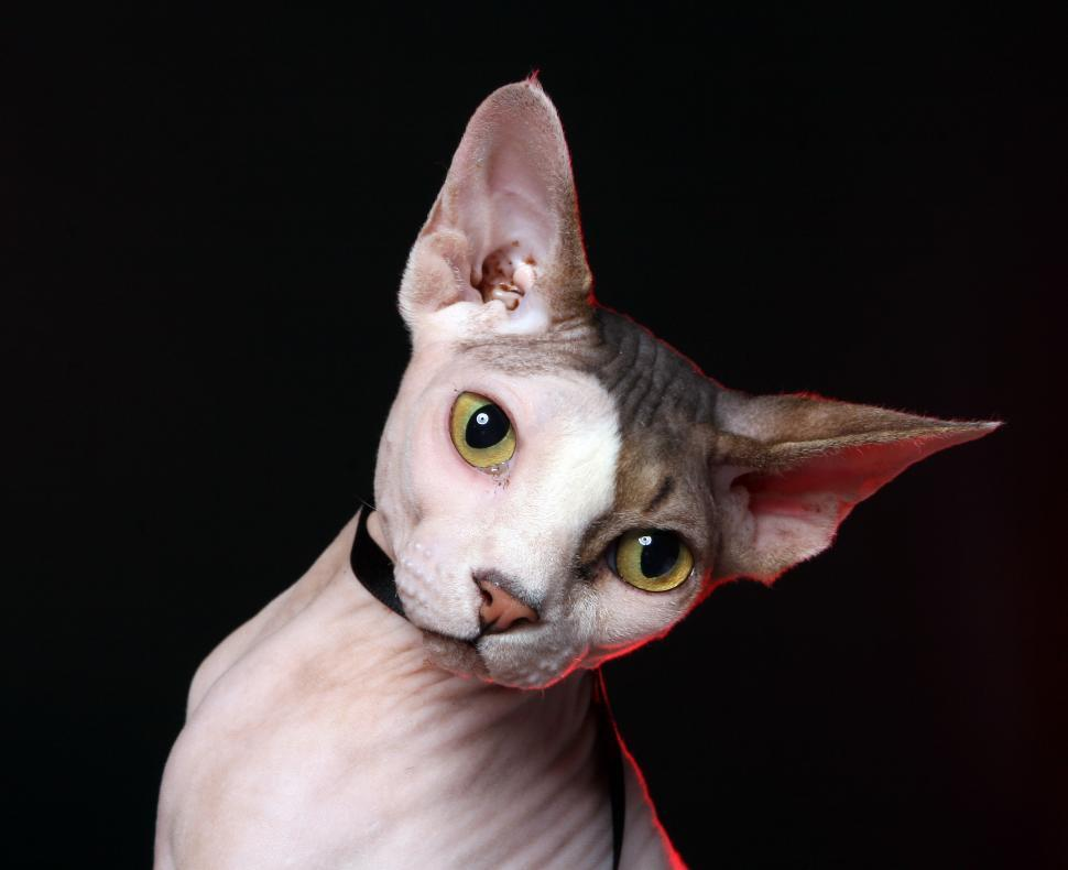 Download Free Stock Photo of Sphynx cat