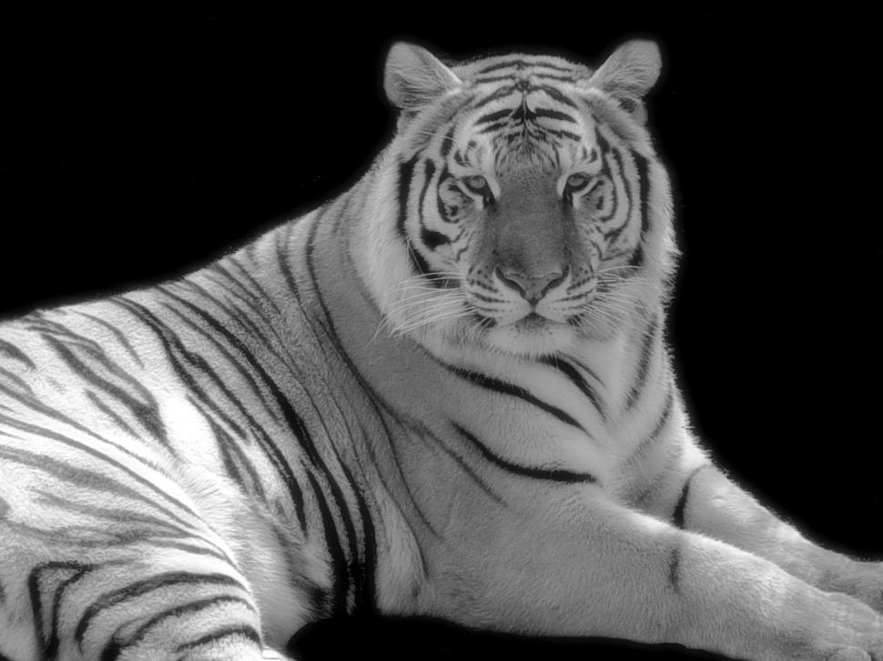 Download Free Stock Photo of Tiger