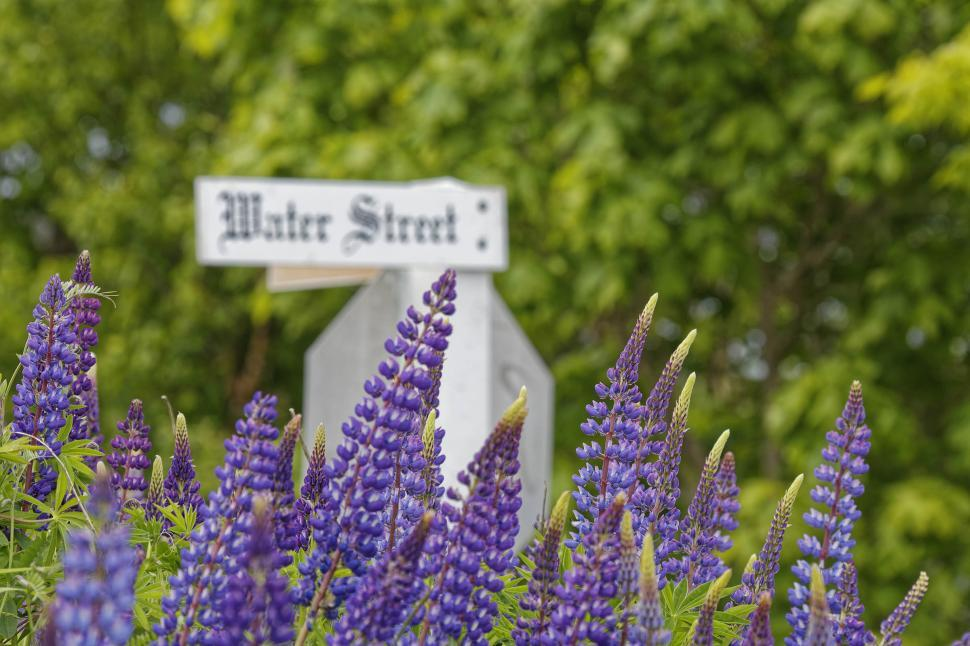 Download Free Stock Photo of Lupins and a street sign