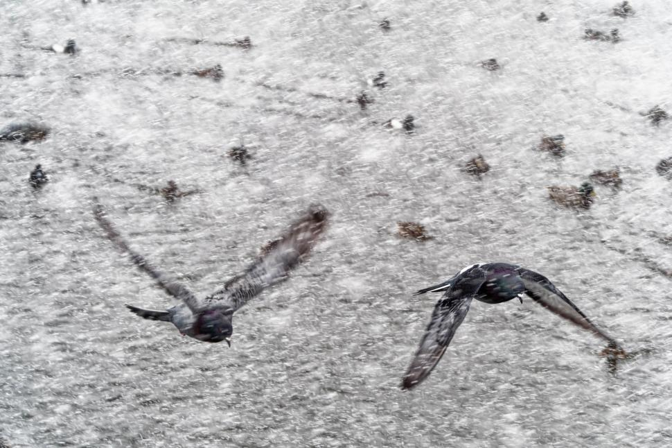 Download Free Stock Photo of Pigeon flying in a snowsquall