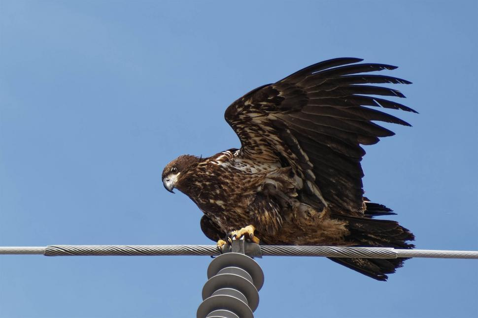 Download Free Stock Photo of Bald Eagle on a wire