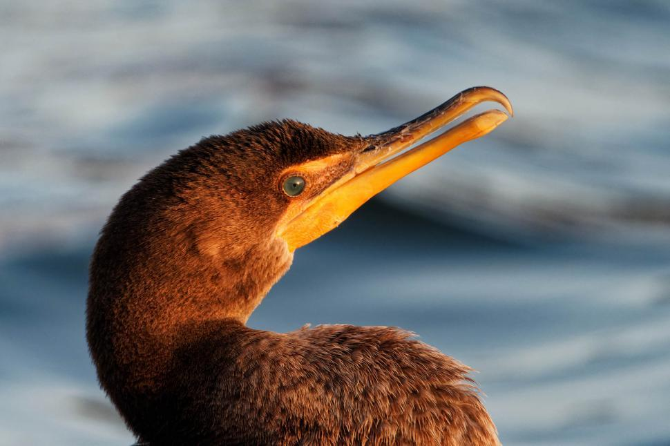 Download Free Stock Photo of Cormorant