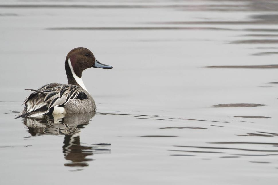 Download Free Stock Photo of Northern Pintail, male