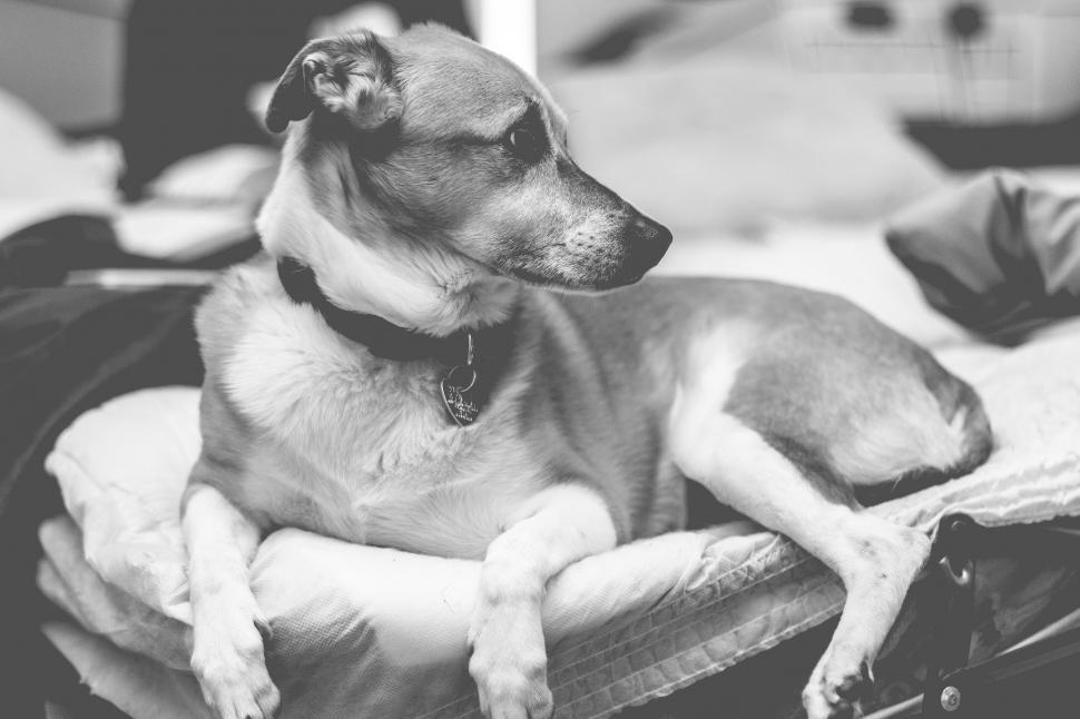 Download Free Stock Photo of Dog with necklace - B&W